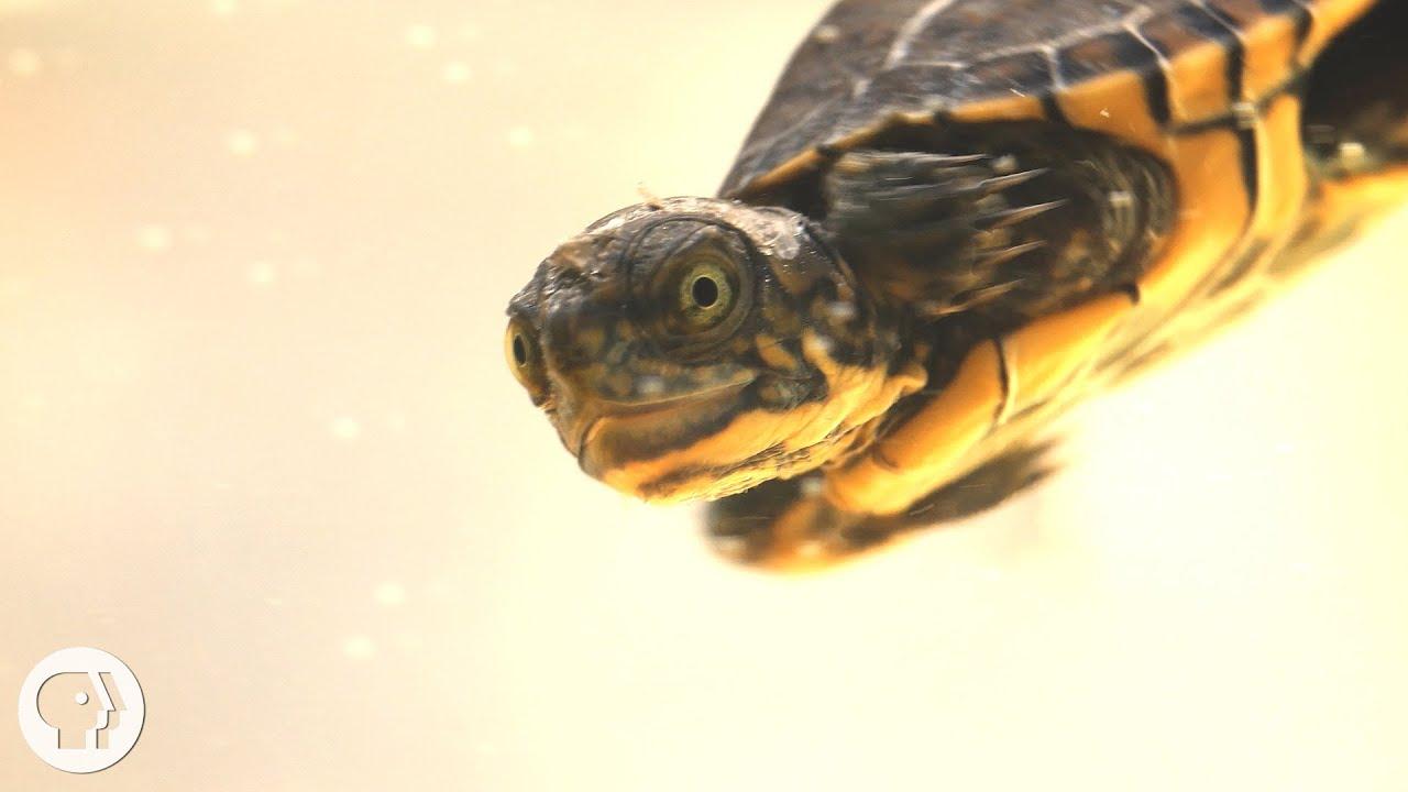 supă de broaște țestoase plus strategie pentru opțiuni binare