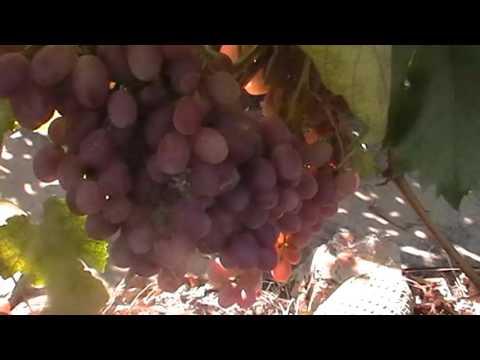 Сорт винограда Гурман Лакомка - сезон 2015