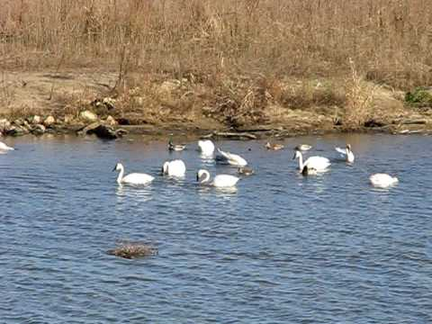 Tundra Swans on the Mississippi