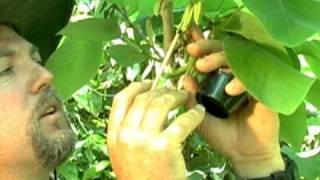 Cherimoya Hand Pollination