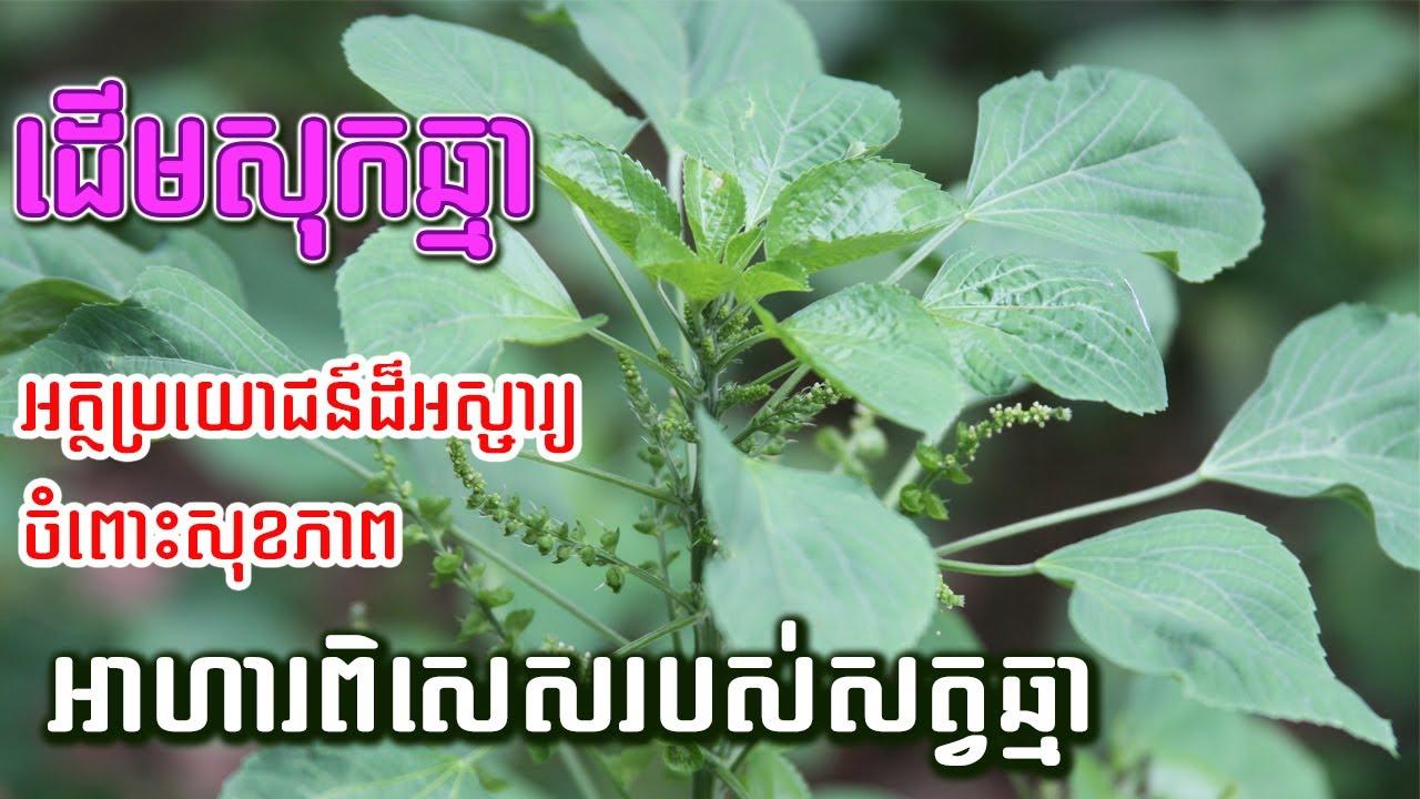 សុខភាព៖ ដើមសុកឆ្មា (Acalypha indica) មានអត្ថប្រយោជន៍ច្រើនណាស់ចំពោះសុខភាព