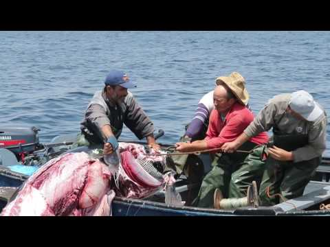 Orcas. Killer Whales. Artisanal fishing of red  tuna in Morocco.