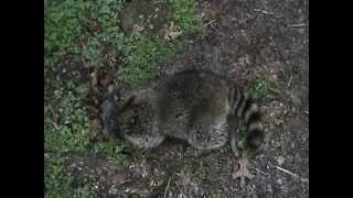 Processing, and cooking Raccoon