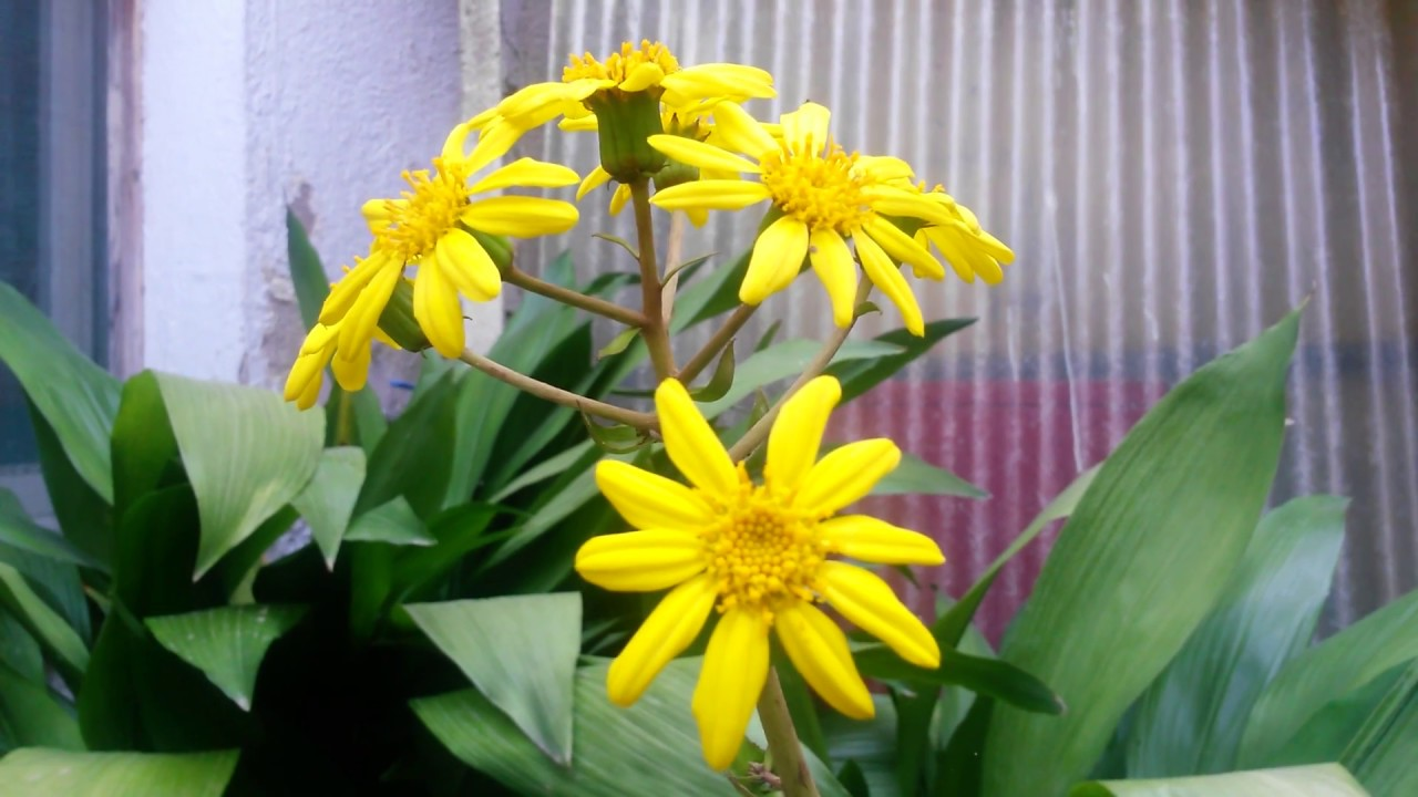 Boina de Vasco. Senecio kaempferi. Ligularia kaempferi. Farfugium japonicum. a55b147d45d