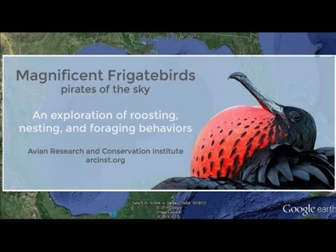 Magnificent Frigatebird Tracking - Google Earth Flyover