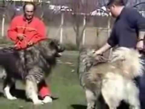 Büyük Kars Çoban Köpeği İzle