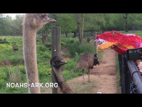 Ratites vs T-Rex - Noah's Ark Animal Sanctuary