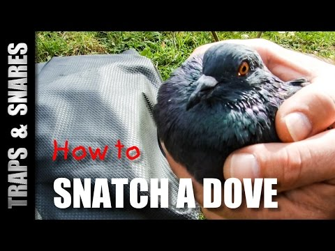 HOW TO SNATCH A DOVE - Traps and Snares