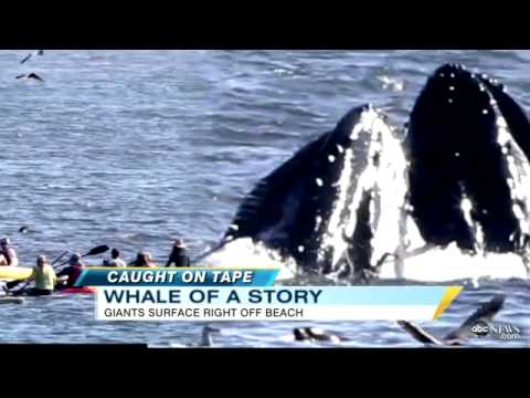 Whales jumping out of water next to surfer - photo#8