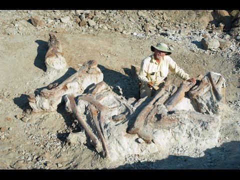 Plaster cradle for the Edmontosaurus fossil