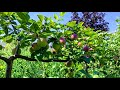 Summer Pruning Espalier Apple and Pear Trees