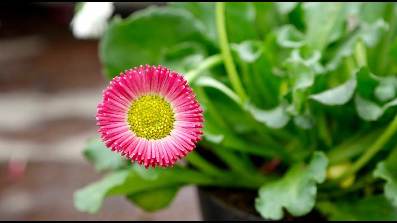 Vaste Planten Tuin : De madelief is een vaste plant.. zet em in je tuin! youtube
