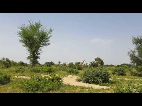 Giraffes in Niger