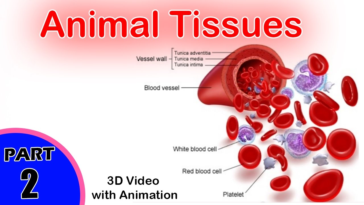animal tissues Tissue: tissue, in physiology, a level of organization in multicellular organisms it consists of a group of structurally and functionally similar cells and their intercellular material by definition, tissues are absent from unicellular organisms even among the simplest multicellular species, such as.
