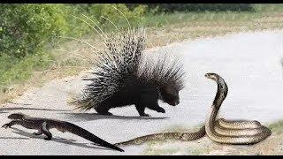 Best of Porcupine save Lizard from King Cobra   Python vs Porcupine   Aniamals S