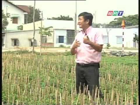 Kĩ thuật trồng hoa cúc đại đóa, cúc pha lê .flv