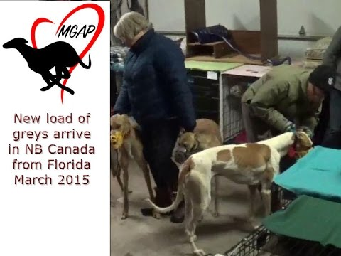 New load of greyhounds arrive in NB, Canada from Florida March 2015