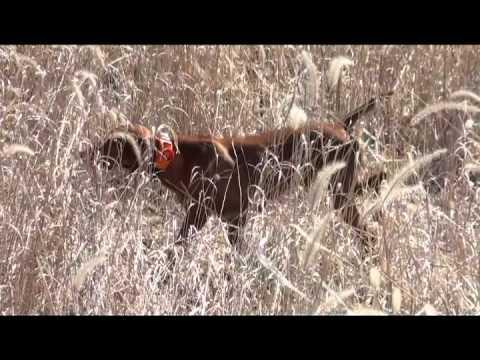 Angela Pham Of Gun Dog Magazine On First Pheasant Hunt With Vizsla And German Shorthaired Pointer