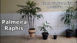Como Plantar a Palmeira Raphis e Dicas de Cultivo