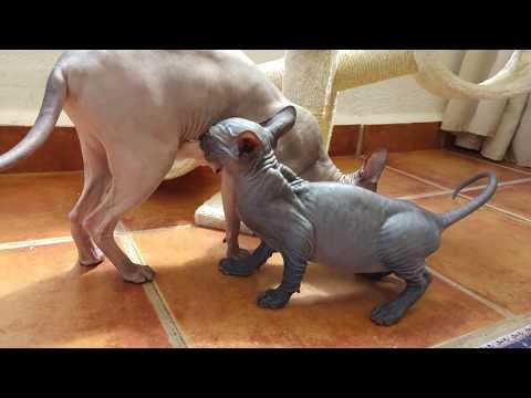 Sphynx Kitten follows mom to be nursed / DonSphynx /