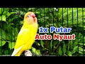 Coba Saja Dulu Pancingan Lovebird Ini Sudah Terbukti Ampuh Mengatasi Lovebird Malas Bunyi  Mp3 - Mp4 Download