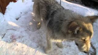 Шикарная собака для охраны частного дома!
