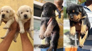 German shepherd And Labrador puppies Available / Labrador puppies / German shepherd puppies