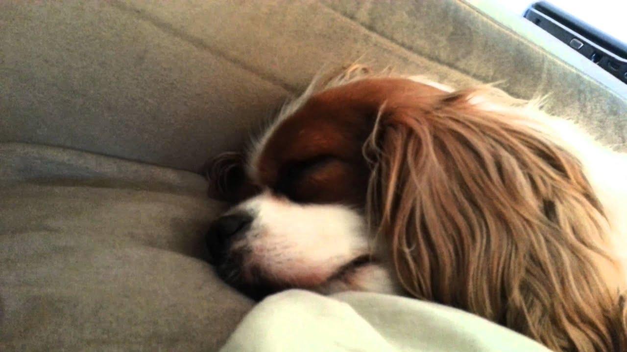 Resultado de imagen para cavalier king charles spaniel sleeping