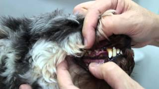 Can You Determine The Age Of Your Dog's- Just From The The Teeth