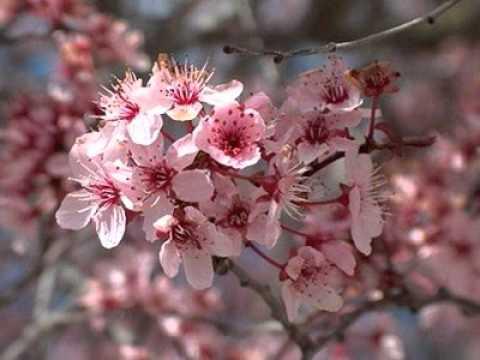 Jardin de los cerezos youtube for Arbol ciruelo de jardin