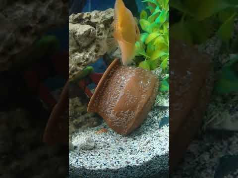 Parrot Fish Egg Laying, Breeding N Hatching