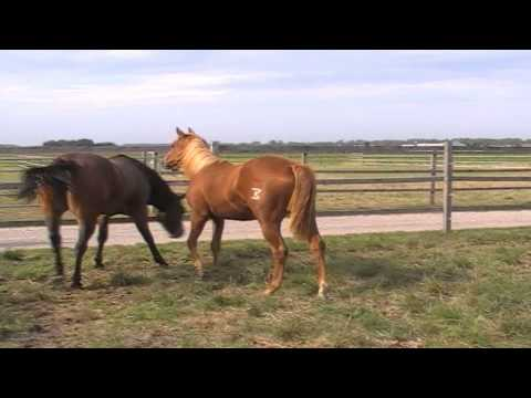 Sheza Sure Whiz,  2010 Quarter Horse sorrel filly  - FOR SALE