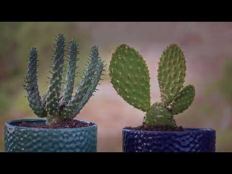 Opuntia cacti are illegal to buy and sell in South Australia