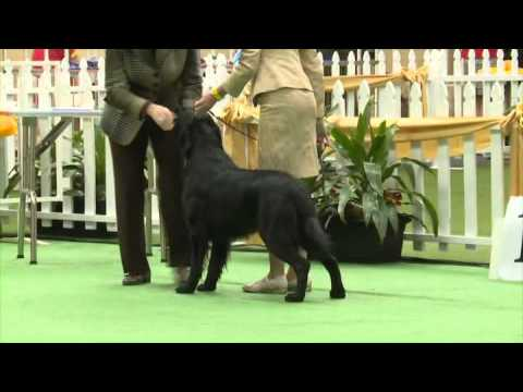 FLAT COATED RETRIEVER Adelaide Royal Show 2015