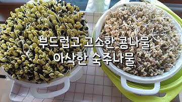 쉽게 콩나물과 숙주나물 키워먹는 방법/약콩(쥐눈이콩),녹두