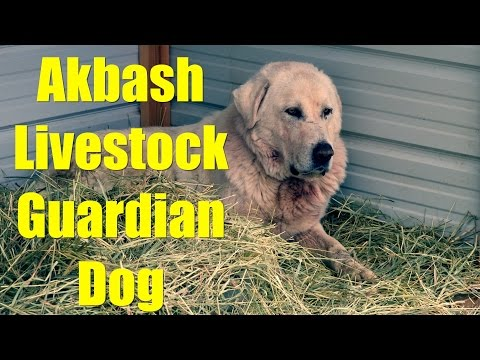 Getting Our Akbash Livestock Guardian Dog