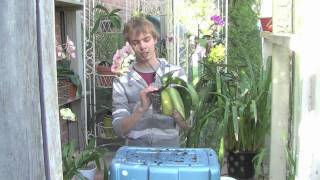 Re Potting Your Phalaenopsis Orchid