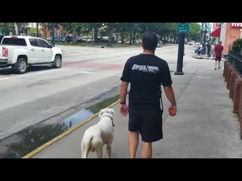 Out of Control Dog! Jumping, pulling, no manners at all. Papa, a 16 Month old, American Bully