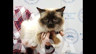 Бирманский кот сил-пойнт. Выставка кошек PCA on-line
