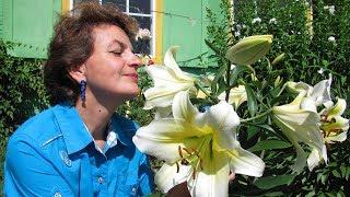 Как сажать цветущие лилии, купленные зимой
