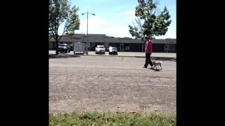 Ari Loose Leash Walking Dog Training St. Cloud Mn Brainerd Mn