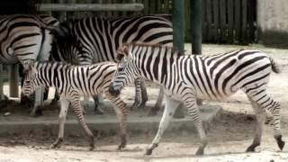 Cute zebra baby (one month old).かわいいシマウマの赤ちゃん(生後一...