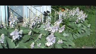 SIEBOLDIANA ELEGANS HOSTA  Giant Hostas Humming Birds Plants
