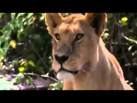 Cuộc chiến của động vật: Sư tử săn trâu rừng