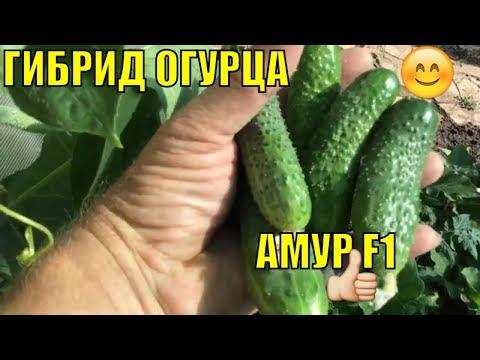 Огурцы в открытом грунте. Амур F1. | выращивание | открытого | открытом | украине | огурцов | огурцы | огород | грунте | грунта | сорта