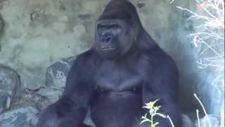Opole Zoo - Goryl Nizinny (Western Lowland Gorilla)