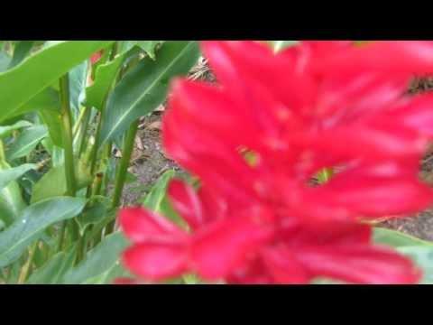 elfi & sonja at Anse Chastanet garden, red ginger in St. Lucia