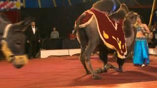 шоу слонов в великом новгороде
