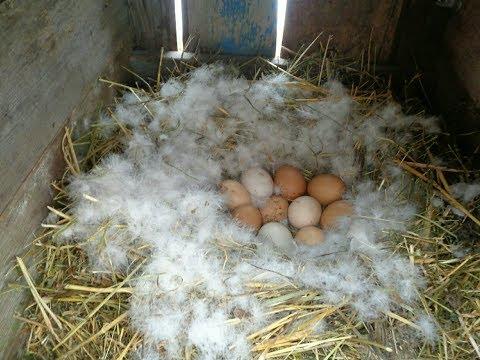 Вопрос: Через какое время индоутка начинает снова нестись, после высиживания яиц?