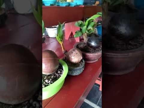 Pameran Bonsai Kelapa Youtube